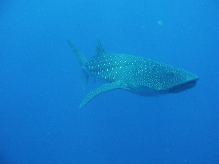 whale shark gladden spit