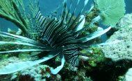 lionfish belize barrier reef
