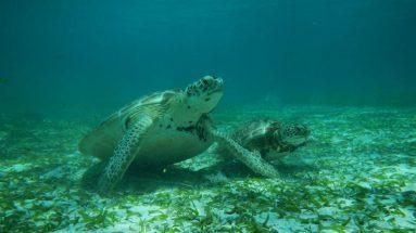 turtles placencia